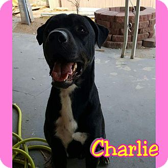 Pit Bull Terrier/English Mastiff Mix Dog for adoption in Mesa, Arizona - Charlie