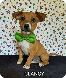 Dachshund Mix Puppy for adoption in Troutville, Virginia - Clancy