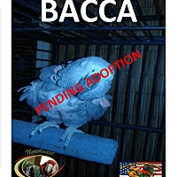 Adopt A Pet :: Bacca The African Grey - Vancouver, WA
