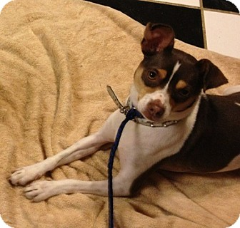 Toy Fox Terrier Mix Dog for adoption in Red Bluff, California - Raffi