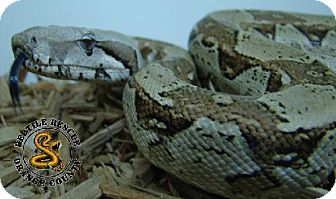 Snake for adoption in Lake Forest, California - Red Tailed Boa #1