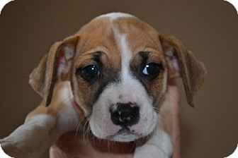 Sheba - Adoption Pending | Adopted Puppy | Mt Sterling, KY ...