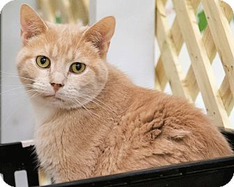 Domestic Shorthair Cat for adoption in Alden, Iowa - Pickles
