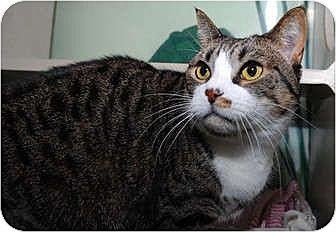 Domestic Shorthair Cat for adoption in New York, New York - Tammy