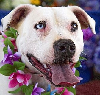 Dogo Argentino Mix Dog for adoption in Acton, California - Blue