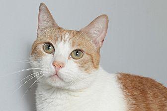 Domestic Shorthair Cat for adoption in Los Angeles, California - Obi