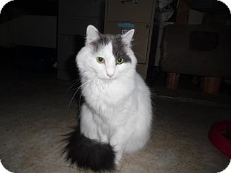 Domestic Longhair Cat for adoption in Pittsburgh, Pennsylvania - Smudge