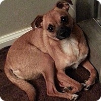 Chihuahua/Pug Mix Dog for adoption in Franklin, Tennessee - Big Ern