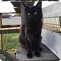 Adopt A Pet :: Bianca - Land O Lakes, FL