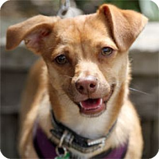 Chihuahua Dog for adoption in Pacific Grove, California - Grant
