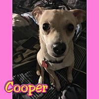 Chihuahua Mix Dog for adoption in Mesa, Arizona - Cooper