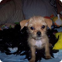 Chihuahua Mix Puppy for adoption in Fultonham, New York - Gene Kelly