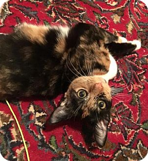 Calico Cat for adoption in Columbia, South Carolina - Bobbin