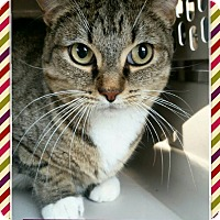Adopt A Pet :: Socks - Edwards AFB, CA