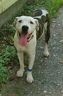 Boxer/American Staffordshire Terrier Mix Dog for adoption in Houston, Texas - Apollo
