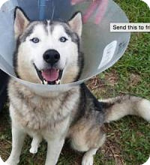 Husky Dog for adoption in New Smyrna Beach, Florida - Mickey