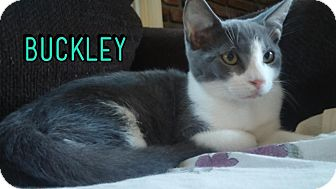 Domestic Shorthair Kitten for adoption in Trevose, Pennsylvania - Buckley