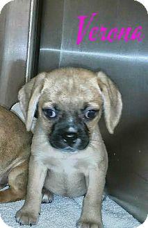 Beagle/Pug Mix Puppy for adoption in House Springs, Missouri - Verona