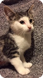 Domestic Shorthair Kitten for adoption in Woodstock, Ontario - Noah