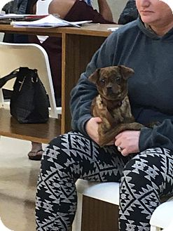 Chihuahua Dog for adoption in Sterling Heights, Michigan - Brindle