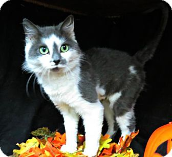 Domestic Mediumhair Cat for adoption in Herndon, Virginia - Cinderella