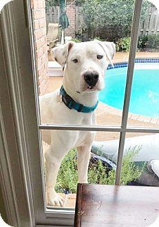 Labrador Retriever/Foxhound Mix Dog for adoption in Parsippany, New Jersey - AUSTIN