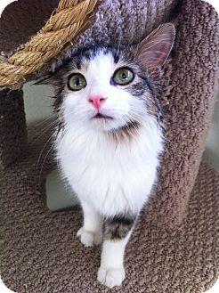 Domestic Mediumhair Cat for adoption in Fountain Hills, Arizona - DAFFODIL