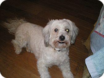N.c. Pekingese Rescue Matthew | Adopted Dog ...
