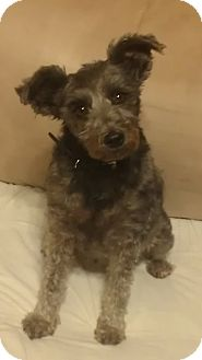 Schnauzer (Miniature) Dog for adoption in Chandler, Arizona - Venice