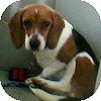 Adopt A Pet :: Sam - Novi, MI