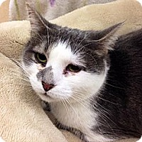 Domestic Shorthair Cat for adoption in Mooresville, North Carolina - A..  Carrie