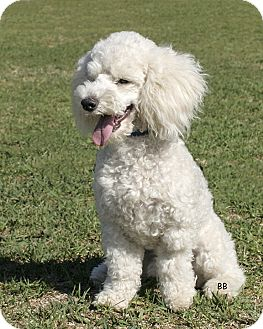 Poodle (Miniature) Dog for adoption in Santa Barbara, California - Digby