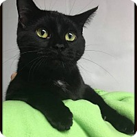 Domestic Shorthair Cat for adoption in Ottumwa, Iowa - Kinsley