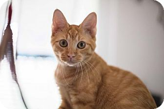 Domestic Shorthair Cat for adoption in Houston, Texas - Peter