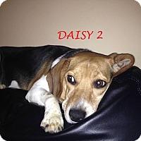 Adopt A Pet :: DAISY 2 - Ventnor City, NJ