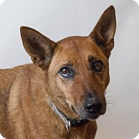 Adopt A Pet :: Gina-Diamond Dog $75 Adoption Fee - Rockwall, TX