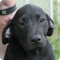 Adopt A Pet :: Darla - Huntsville, AL