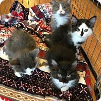 Adopt A Pet :: Kittens - La Quinta, CA