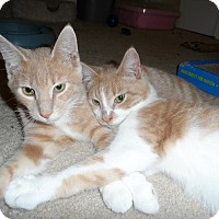 Adopt A Pet :: Tucker Boy Kittens - Fairfax, VA