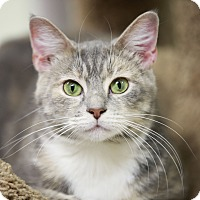 Domestic Shorthair Cat for adoption in Kettering, Ohio - Salsa