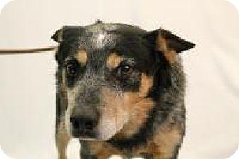 Australian Cattle Dog Dog for adoption in Huachuca City, Arizona - Dude