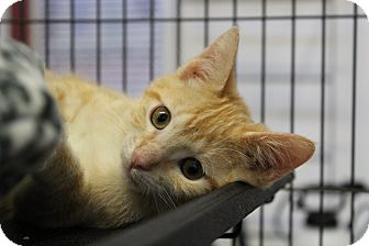 Domestic Shorthair Kitten for adoption in Sarasota, Florida - Lorax