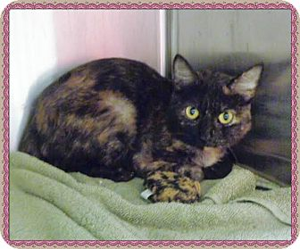 Domestic Shorthair Cat for adoption in Marietta, Georgia - MELINDA MAY