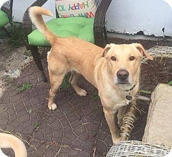 Labrador Retriever Dog for adoption in Austin, Texas - Harrison