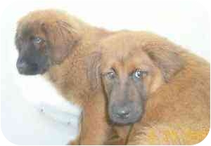Drew adopted puppy chicago il chow chow german shepherd dog mix