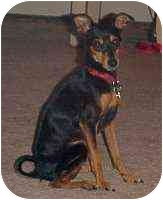 Miniature Pinscher Dog for adoption in Florissant, Missouri - Buster