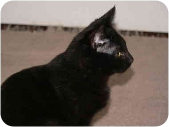 Domestic Shorthair Kitten for adoption in Painesville, Ohio - Tobie