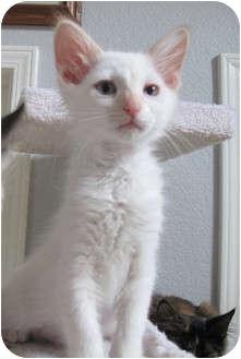 Turkish Angora Kitten for adoption in Davis, California - Marquee