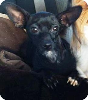 Chihuahua Mix Dog for adoption in Vista, California - Ellie