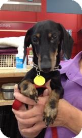 Dachshund Mix Dog for adoption in Tucson, Arizona - Oliver